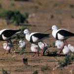 Banded-Stilts-leading-chicks