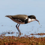 Red-kneed-Dotterel-feeding