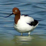 Red-necked-Avocet-AS