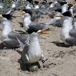 Crested-Tern-mud