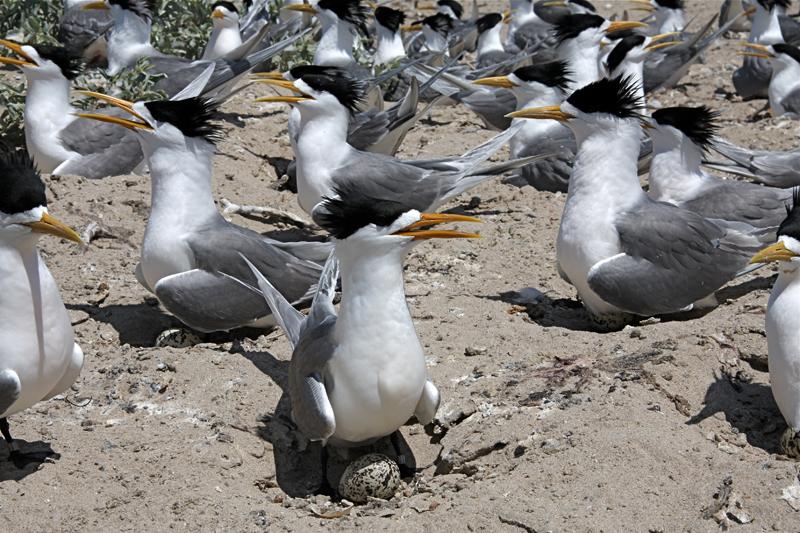 crested tern mud islands