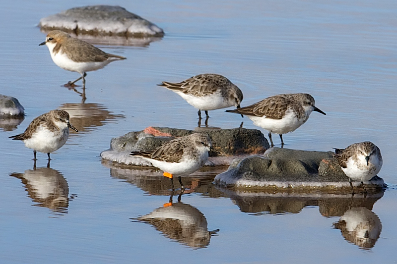 red-necked stint group