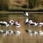 Red-necked-Avocet-OLF