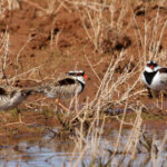 Black-fronted-Dotterel-group