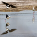Black-winged-Stilt-action