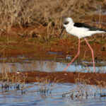 Black-winged-Stilt-imm