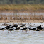 Black-winged-Stilt-roost-Broome