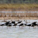 Black-winged-Stilt-roost-Broome