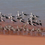 Black-winged-Stilt-roost-NWA