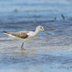 CommonGreenshank_DRW_2156 copy