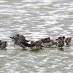 Curlew-Sandpiper-feeding