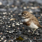 Double-banded-Plover-1