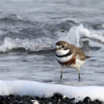Double-banded-Plover-2