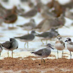 Greater-Sandplover-right