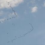 Migrating-Bar-tailed-Godwits