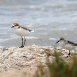 Red-capped-Plover-RNS