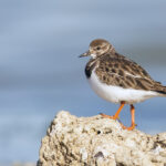 Ruddy_Turnstone_DRW_0291 copy