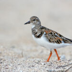 Ruddy_Turnstone_DRW_1061 copy