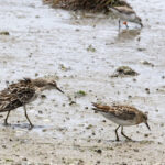 Sharp-tailed-Sandpiper-courting