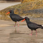 Sooty-Oystercatcher-two